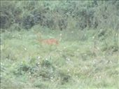 A blurry deer in the paddock; don't tell the hunters as they are always looking....: by beno, Views[217]