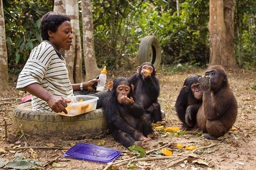 Infant arrivals at the sanctuary require round-the-clock care until they can be introduced into a family group. Here, under the watchful eye of their caregiver Kristie, chimps Mac and Mbia enjoy some fruit, whilst their friend Ayisha checks out what Chickaboo the gorila has for lunch. All of the infants in this image experienced the deaths of family members at the hands of poachers.