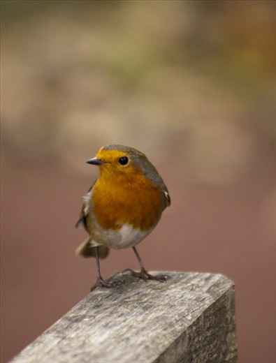 Not afraid and singing at the top of its voice this little robin performed in The Pinetum.