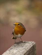 Not afraid and singing at the top of its voice this little robin performed in The Pinetum.   : by biddulph, Views[73]
