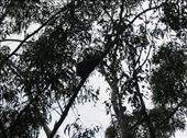 We were told where we might find wild koala and to look for rocks in the trees.: by bigels, Views[200]