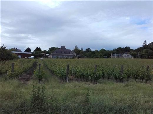 Coutures -- neighborhood vineyard.01
