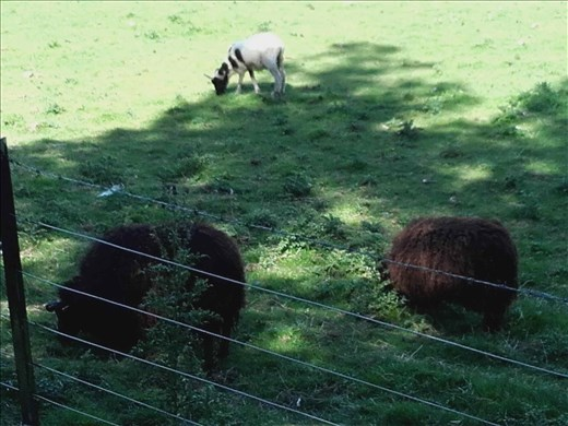 Direlton Castle -- sheep