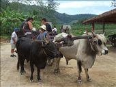 Ox cart riding in Phuket: by bixxie, Views[222]
