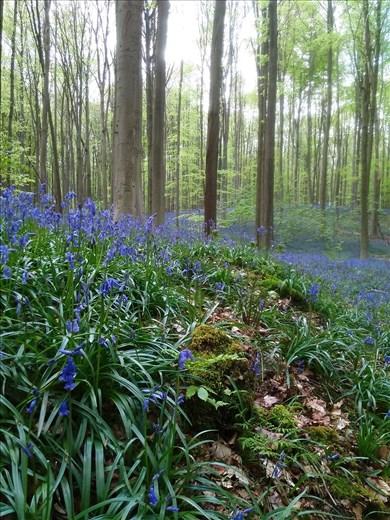 bluebells' mat in Hallerbos forest