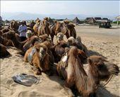Camels at Sha Hu: by bodiekern, Views[210]