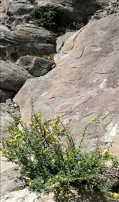 Flowers in Petroglyph Canyon: by bodiekern, Views[302]