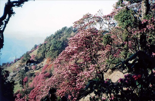 This spring in the Kumaon Himalaya was a heavy rhododendron flowering year. Every tree was literally 'dripping' with flowers....