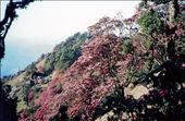 This spring in the Kumaon Himalaya was a heavy rhododendron flowering year. Every tree was literally 'dripping' with flowers....: by bonnie, Views[624]