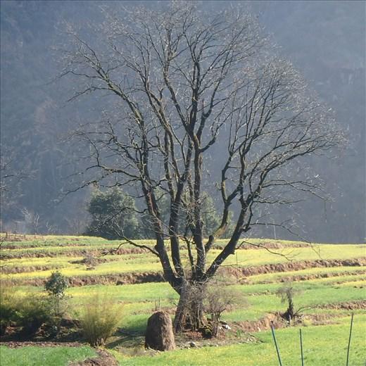 My favorite tree in Jatoli (taken mid winter)