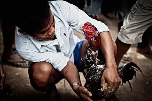 Man preparing cock for fight. Don Det, Laos.