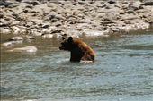 Beer in het water net nadat haar kleine beer uit het shot was gelopen....: by bramgies, Views[489]