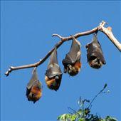 Vleermuizen doen dutje in botanic gardens Sydney.: by bramgies, Views[297]