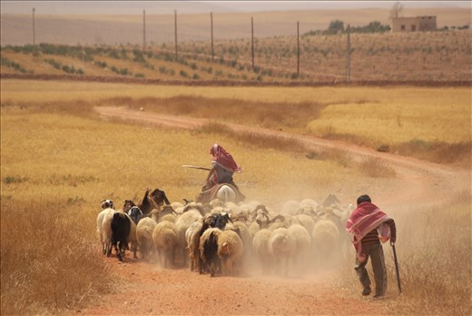 All members of bedouin families are taking part in everyday work. Boys are usually taking care of flocks of sheep and goats.