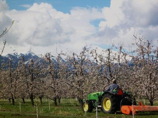 Mt Hood, through the pear trees