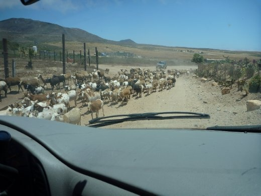 Give way to goats on road...such a Mexico moment
