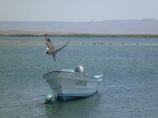Pelican taking flight, refreshing estuary view, Campo Rene