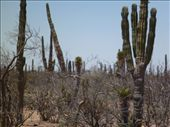 Miles and miles of Cactus's (Cacti?): by brettcooke, Views[221]