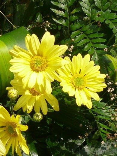 bright yellow chrysanthemums