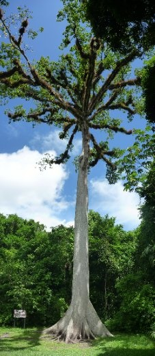 200 year old tree...the jungle grows over top of limestone beneath the topsoil, nothing lives much longer than that