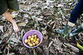 Harvest of Yellow Mangosteen, Garcinia zanthochymus.: by brh721, Views[304]