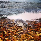 A sea turtle makes his way to dry land at Turtle Beach on the island of O'ahu.: by brittneyreynolds, Views[163]