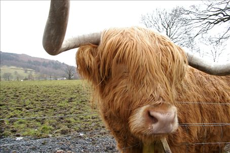 Hamish the highland cow, or 'hairy coo' as our tour leader would say. This was taken on the first day of my Haggis tour. Somewhere just past Sterling.