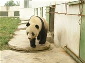Jia Jia getting some exercise. Ok. Coming out to get fed. One of two the rescue and reseearch faciltiy has manged to breed in captivity.: by bundynbeaches, Views[205]