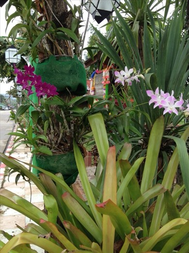 Orchids in the street