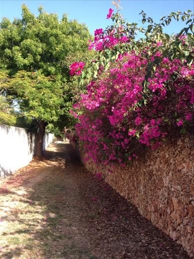 Bourganvillia in the alley