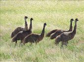 emus: by callwill, Views[219]