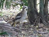 Bush Stone Curlew: by callwill, Views[435]