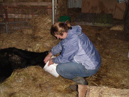 Calf feeding.