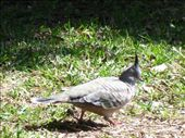 Without a birdie book, this fella will henceforth be known as a Plumed Pigeon: by candjmcshane, Views[276]