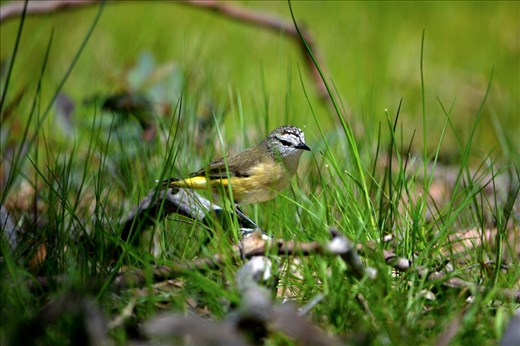 The appearance of Eastern Yellow Robins mark the beginning of Spring.