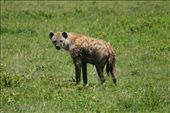 A hyena looking slightly confused (most likely he/she is looking for some mud): by cape_bound, Views[283]