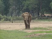 Tong Suk-name means golden happiness. 12 years old. Mother was a trekking elephant and he was rescued before he was put through the Phajaan. : by capecodkiwi, Views[131]