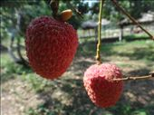 Lychee- a thai fruit: by capecodkiwi, Views[96]
