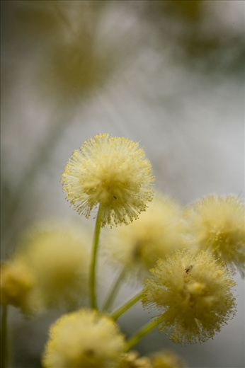 The Wattle pom pom is a burst of smaller flowers making up the whole