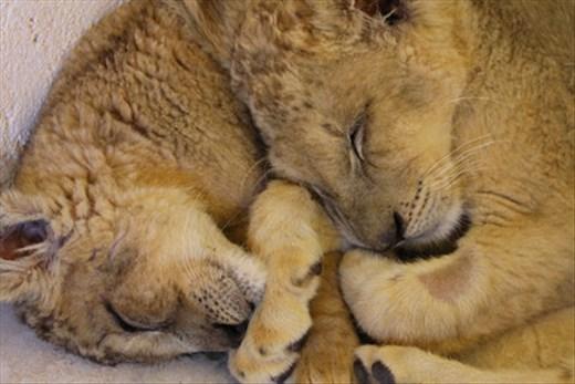 Spanish cubs 2