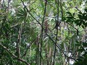 Spider monkeys at Tekal Ruins, Near Flores: by carolwil, Views[77]