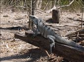 Lizard clutches driftwood as he tries to warm up in the sun: by casparmccormick, Views[195]