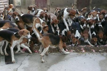 Anarchy as the hounds start feeding at Cheverny