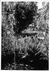 A young willow tree bends over the fishpond: by cathie, Views[207]