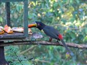 Fiery billed toucan feeding on bananas on the bird table at Cerro Lodge.: by cayman_adventurer, Views[168]