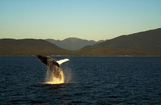 This 45 ton humpback whale leaps out of the water on one of the few sunny days the Inside Passage sees.