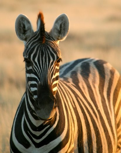 On its way to a waterhole where a fresh lion kill awaits, this zebra is intent on getting one more drink before nightfall, a dangerous time in Etosha National Park, Namibia. Its alert demeanor betrays its apprehension.