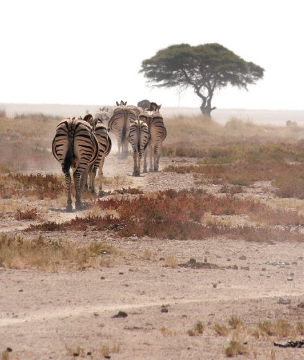 A tired herd of zebras treks towards the shade of a solitary tree on the edges of the Etosha pan in Namibia.
