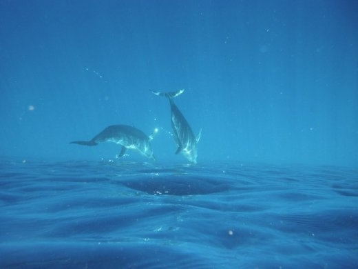This was taken by a fellow diver, of Spinner dolphins who came bow-riding our boat where we lived in the Bay Islands of Honduras' north coast.  They are more shy than Bottlenose and it's rare than one gets to swim with them. Can you tell the photo is upside down? I liked it better that way!