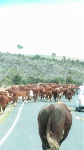 Cattle being moved down the road